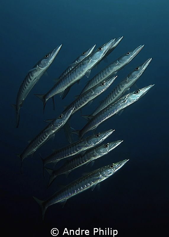 Barracuda school comes out of the dark by Andre Philip