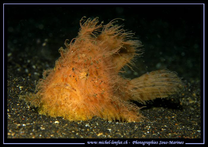 Hairy Yellow Frog Fish... ;O)... by Michel Lonfat