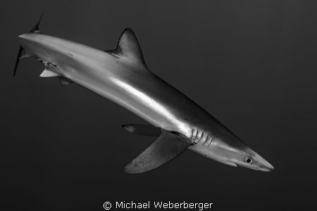 relaxed blue shark diving by Michael Weberberger