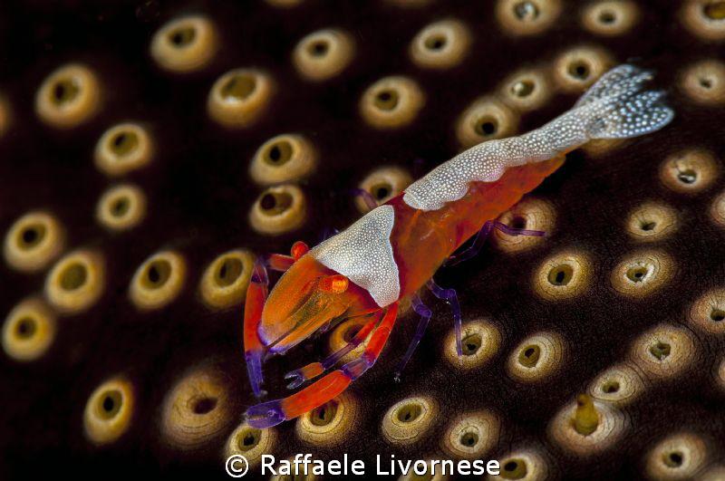 Emperor shrimp by Raffaele Livornese