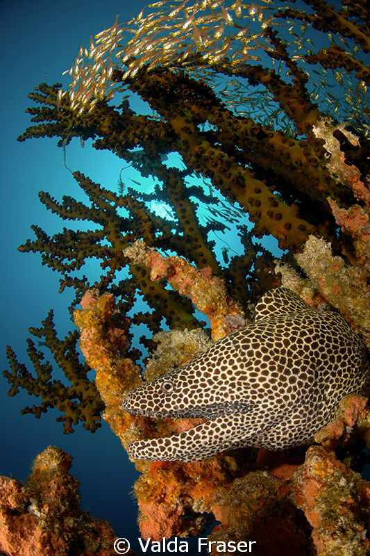 A honeycomb moray in a green tree coral. by Valda Fraser