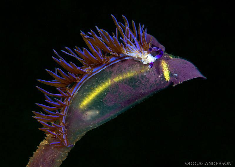 Pteraeolidia ianthina, feeding on tunicate. Kurnell, Bota... by Doug Anderson