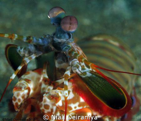 Mantis shrimp close up by Niall Deiraniya