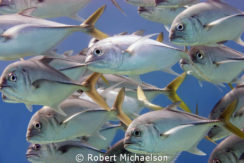 Horse-eye Jacks at Capt Don's House reef, Bonaire. by Robert Michaelson