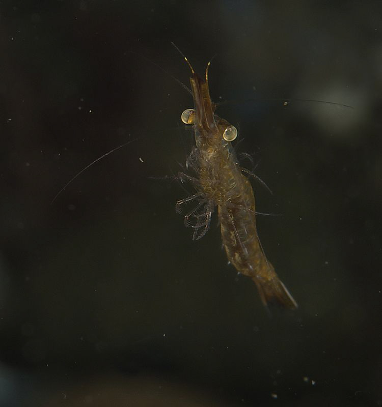 post-larval Shrimp (half inch long)