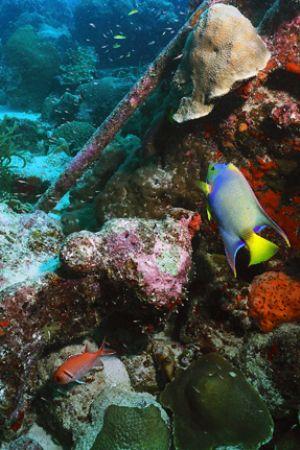 Queen Angelfish and Blackbar Soldierfish swimming near ab... by Matthew Shanley