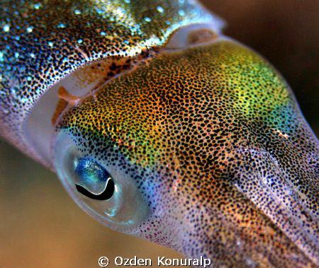 Sepioteuthis sepioidea- Canon 400D-100mm. by Ozden Konuralp