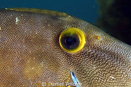 Leatherjacket Parika scaber by Daniel Poloha