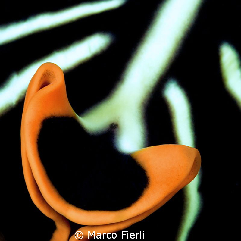 tiger flatworm, abstract by Marco Fierli