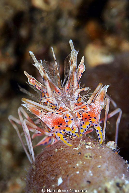 Zebra crab Nikon D800E , 105 micro Nikon, twin strobo G... by Marchione Giacomo