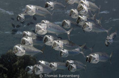 Indian mackerel (Rastrelliger kanagurta)  NIKON D7000 i... by Thomas Bannenberg
