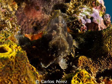 Little frog fish potrait by Carlos Pérez