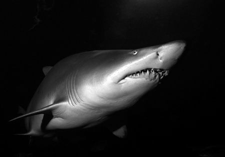 Sand Tiger Shark. Nikon D70. 14mm lens. by Grant Kennedy