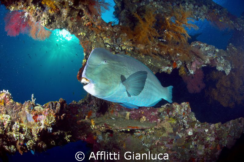 bumphed parrotfish by Afflitti Gianluca