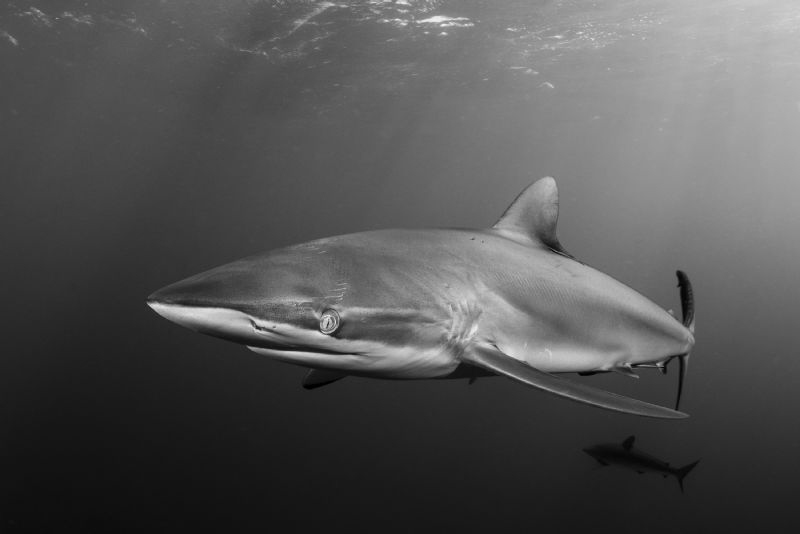 One of the most elegant sharks that I have dived with; a ... by Paul Colley