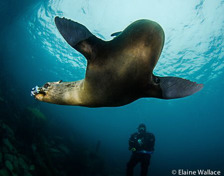 Sea lion in San Cristobal, Galapagos, she loved chewing m... by Elaine Wallace