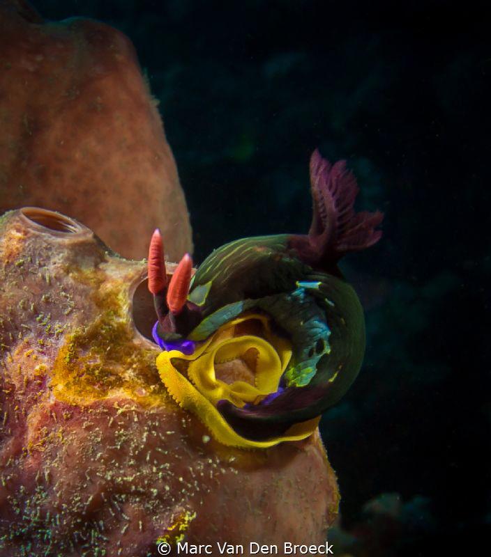 nudibranch lays eggs by Marc Van Den Broeck