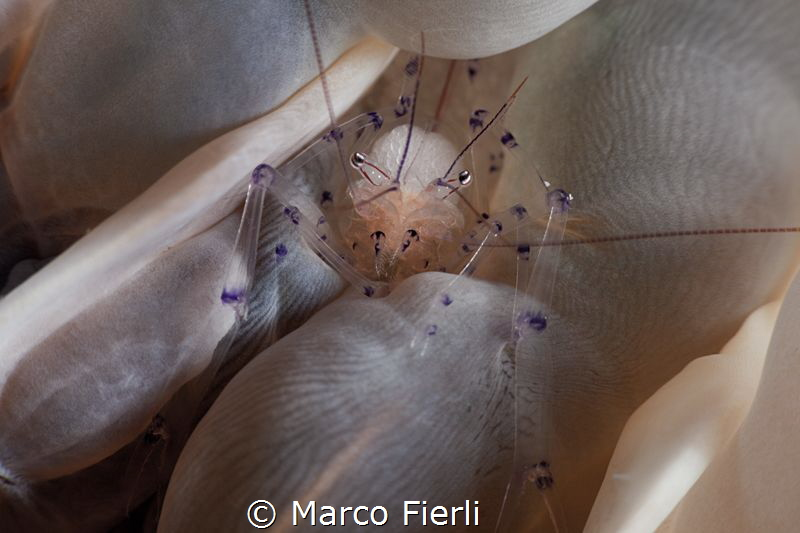 Bubble Coral Shrimp facing the lens by Marco Fierli