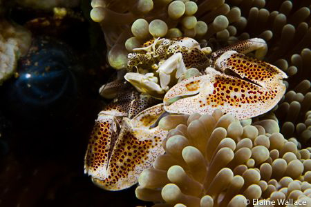 Porcelain crab by Elaine Wallace
