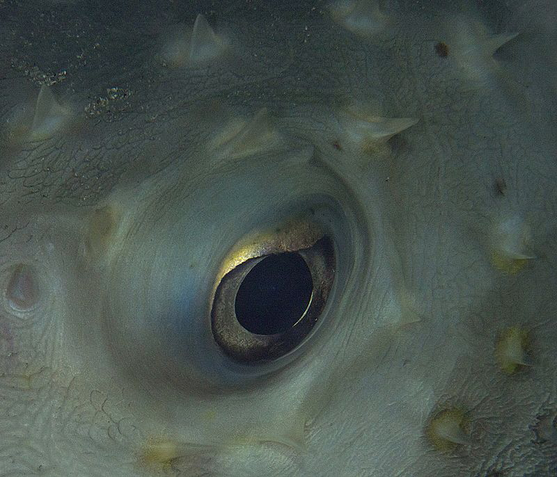porcupine fish sleeping with eye open by Chris Krambeck