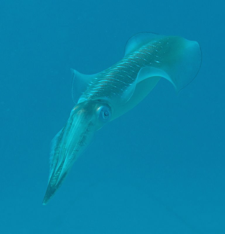 squid by Chris Krambeck