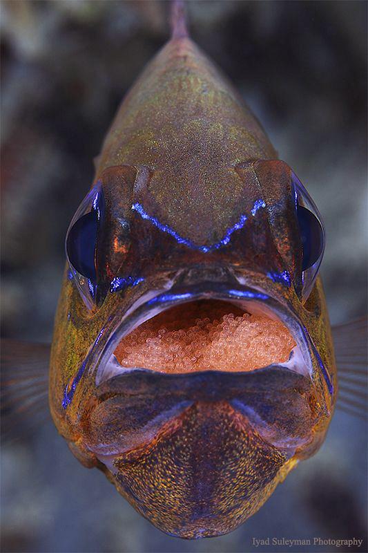 Cardinal fish with red eggs (no crop!) by Iyad Suleyman