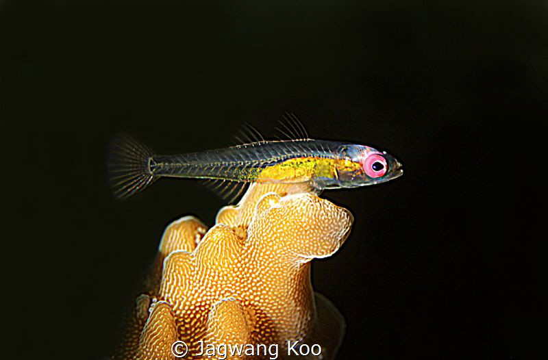 Red-eye Goby by Jagwang Koo
