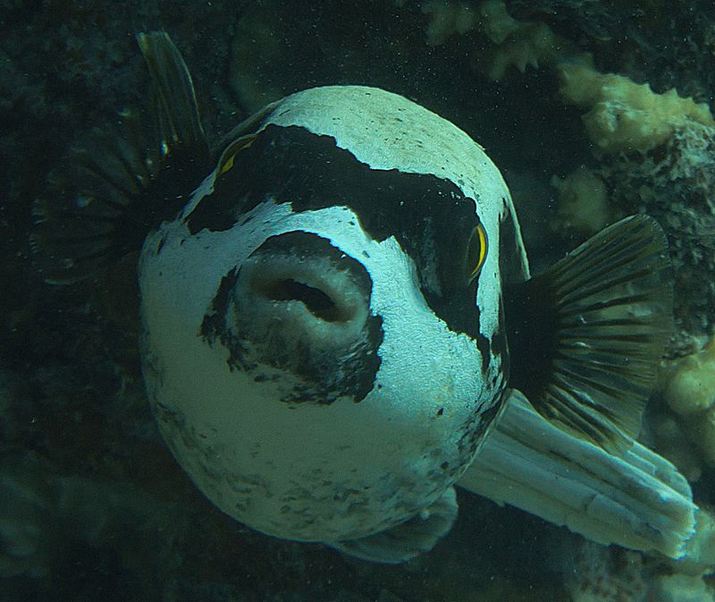 masked puffer fish by Chris Krambeck