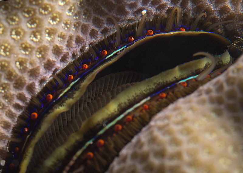 coral clam by Chris Krambeck