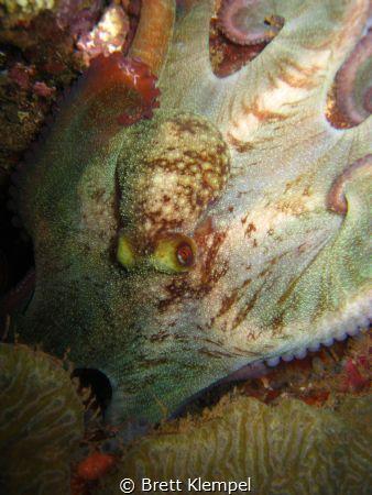 Reef octopus, picture taken in Portobelo, Panama.  2 year... by Brett Klempel