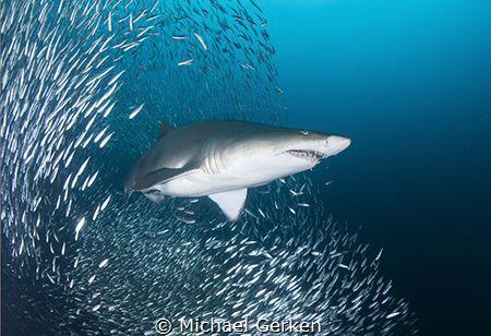 Sand tiger shark, Carcharias taurus off the North Carolin... by Michael Gerken