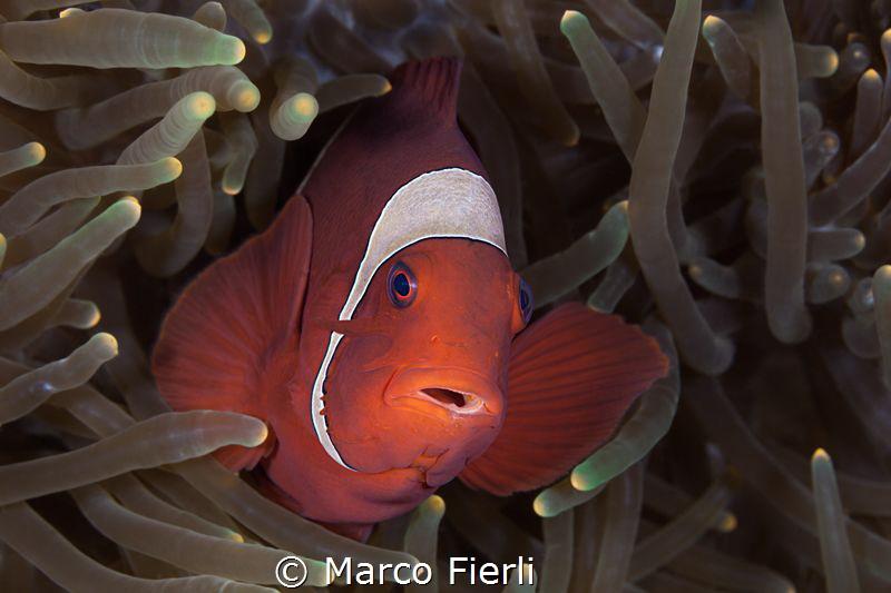 Spine Cheeck Anemone fish, female portrait by Marco Fierli