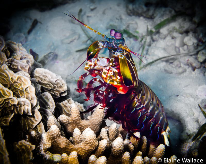 Mantis shrimp out for an afternoon stroll. by Elaine Wallace