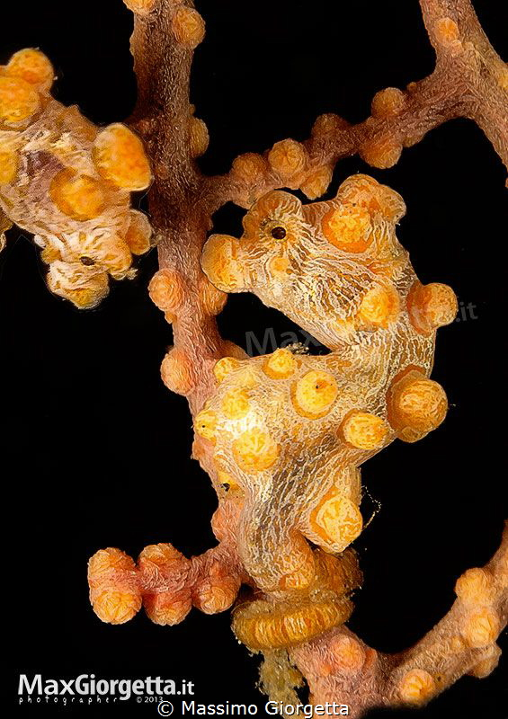 yellow pigmy in lembeh by Massimo Giorgetta