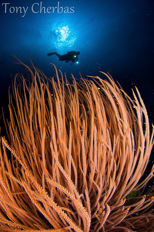 Dream Dives In Papua by Tony Cherbas