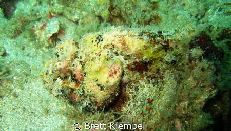 Scorpion fish very camouflaged almost looks like it's got... by Brett Klempel