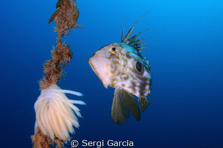 zeus faver and cuttlefish eggs by Sergi Garcia