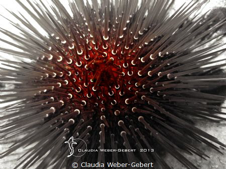 sea urchin abstract by Claudia Weber-Gebert