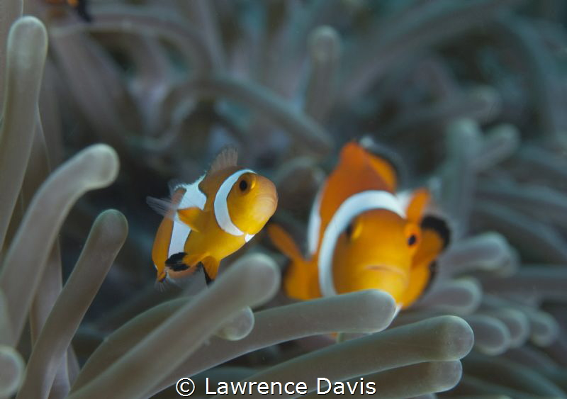 Pair of curious clowns by Lawrence Davis