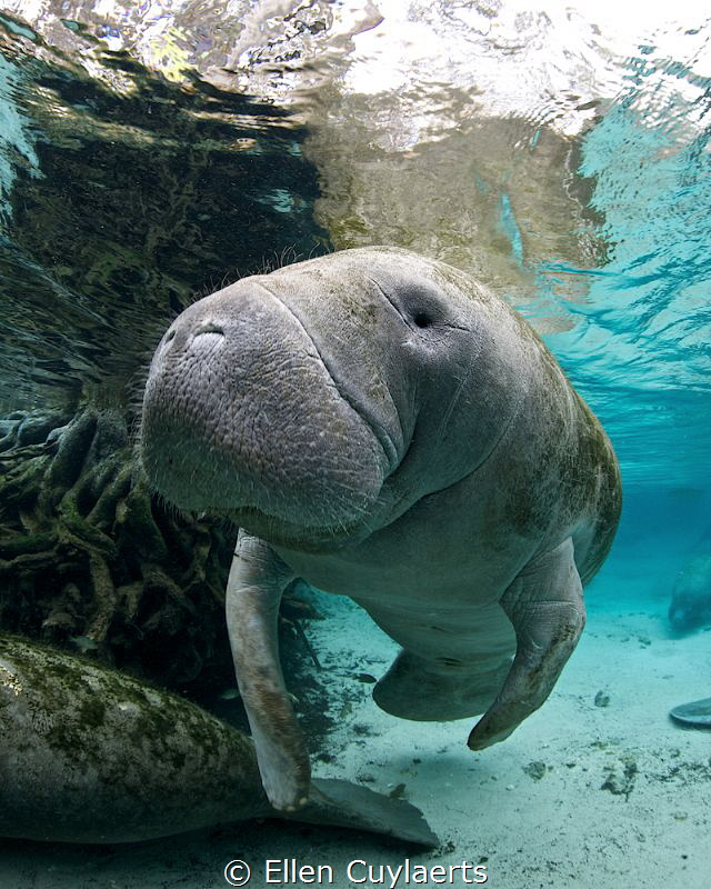 Manatee in the springs to keep warm by Ellen Cuylaerts