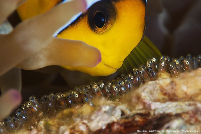 Nemo fish with babies by Raffaele Livornese