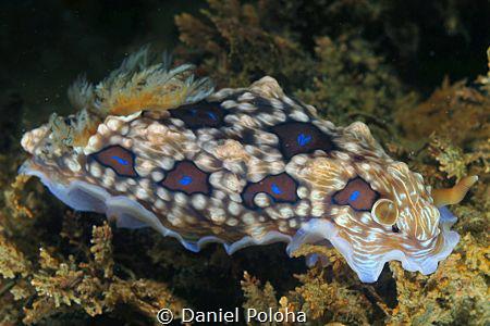Dendrodoris gemmacea/denisoni by Daniel Poloha