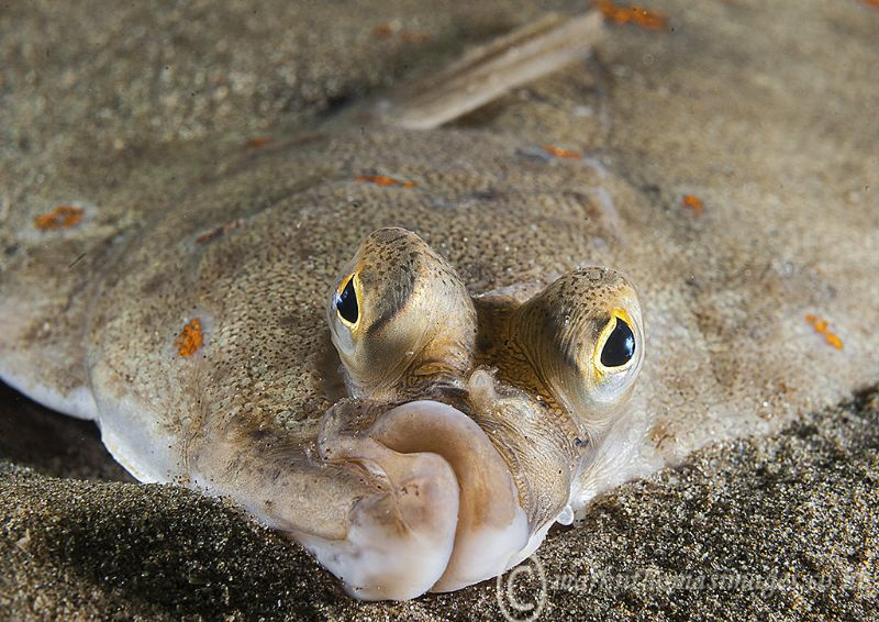 Plaice at Trefor Pier. by Mark Thomas