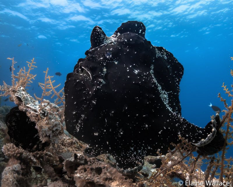 Giant black frogfish on top of the reef, Sony compact by Elaine Wallace