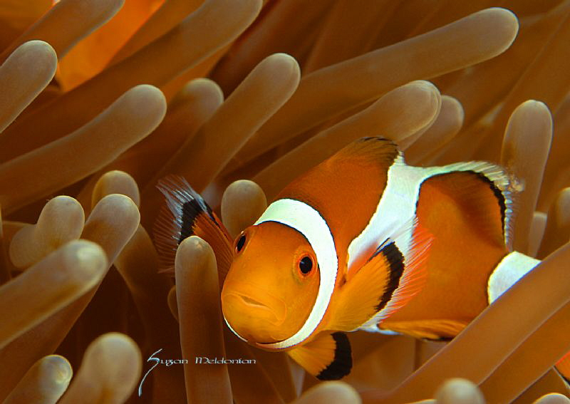 cute little anemone fish by Suzan Meldonian