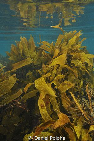 Shallow water kelp forests around Goat Island near Leigh ... by Daniel Poloha
