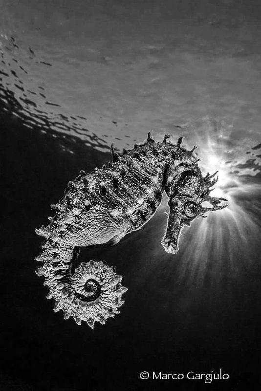 Seahorse in bw by Marco Gargiulo