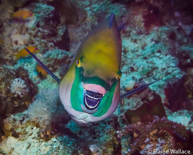 The cartoon smile of a a parrot fish! by Elaine Wallace