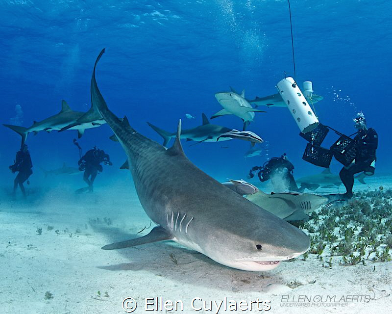 Bow down Emma 'Emma' is a well known tiger sharks at Tig... by Ellen Cuylaerts