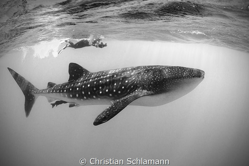 Meeting a whaleshark at the Silver Banks. by Christian Schlamann